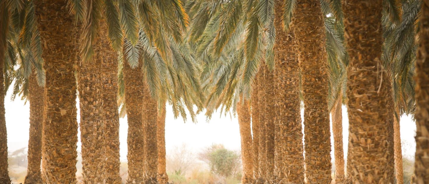 Boosting your date palm business and ROI