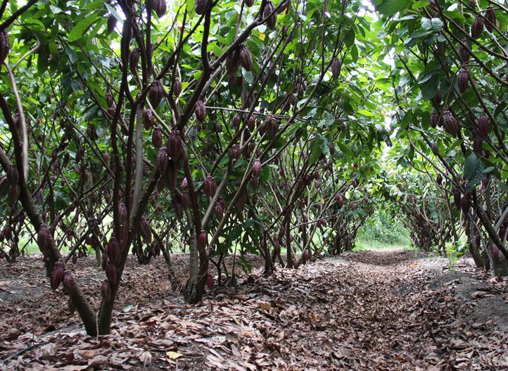 Precision irrigation for Cocoa