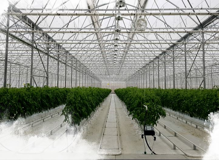 GP Alpha achieved quality tomato yields and water savings with customized greenhouse solution