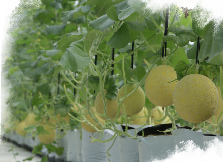 Netafim helped Vingroup ensure quality produce with polyhouse greenhouse solution.