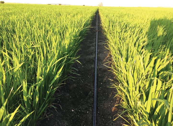 Increase Rice Yield Using Drip Irrigation | Netafim