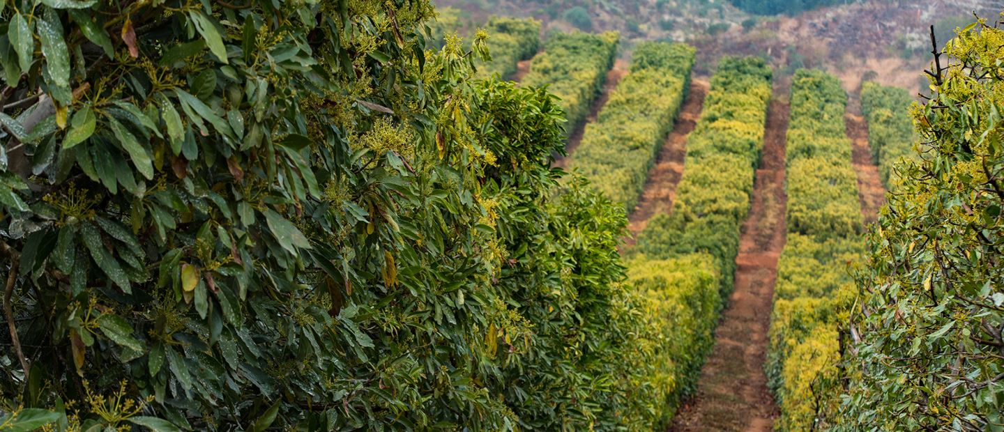 RECORD YIELDS AND SUPER-FAST ROI ON AVOCADO PLANTATIONS