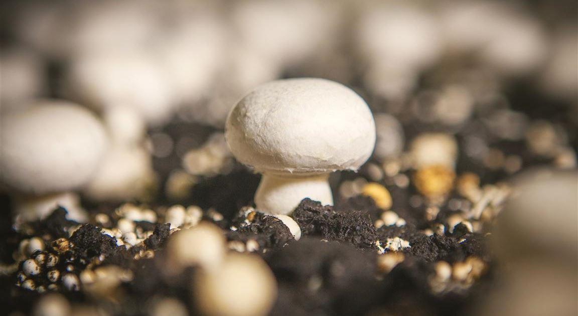 Increase Mushroom Yield Using Drip Irrigation   Netafim