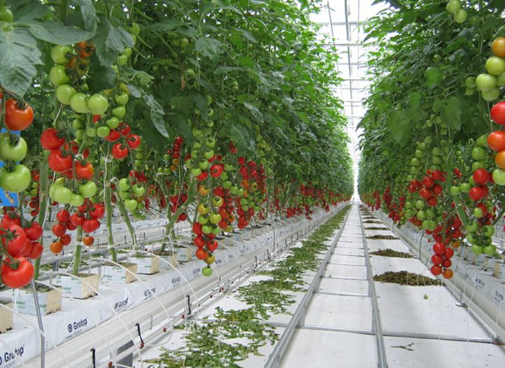 Tomato Greenhouse in Japan