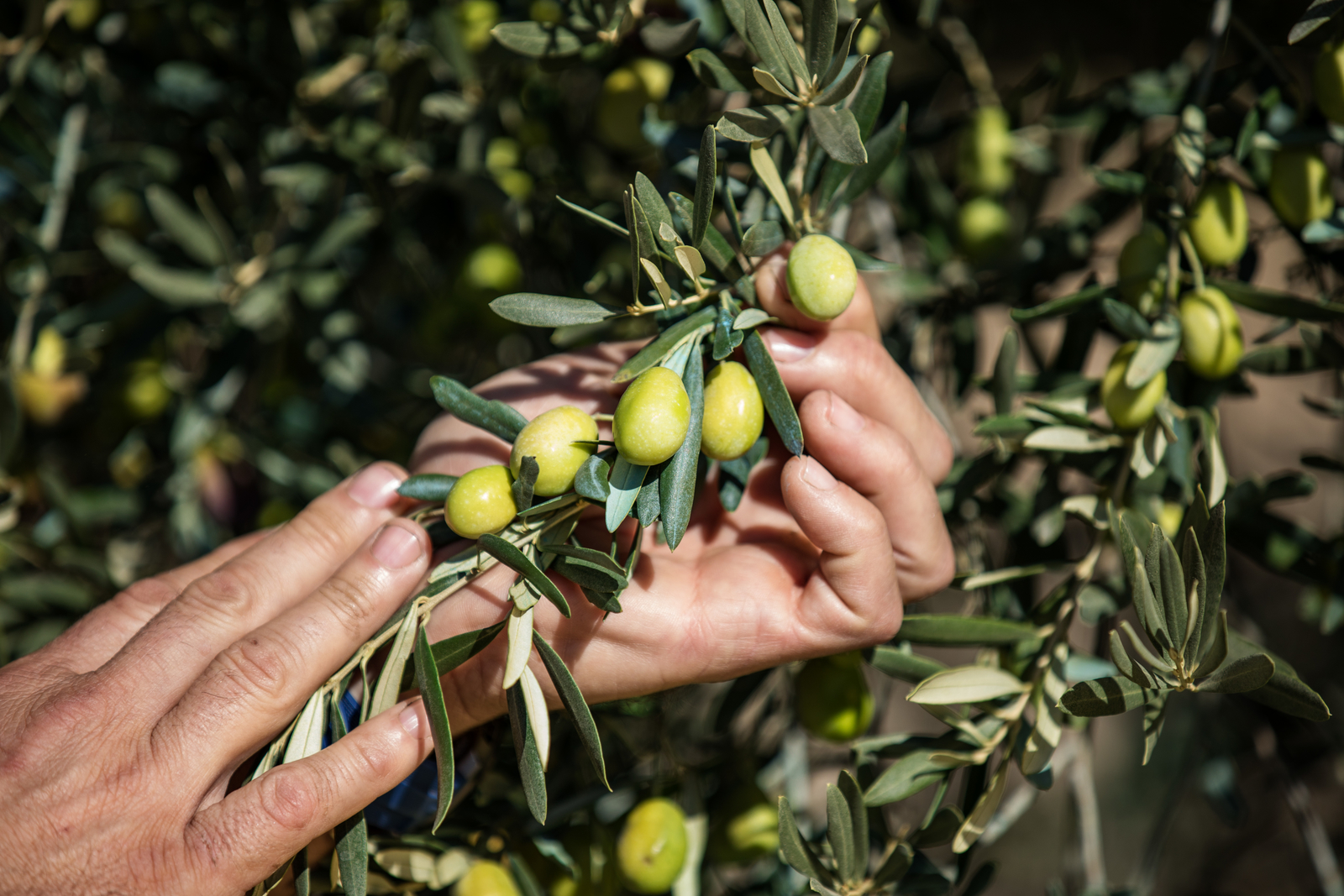 Precision irrigation, irrigation solutions, olives
