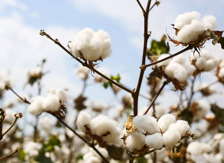 Drip irrigation for quality cotton lint