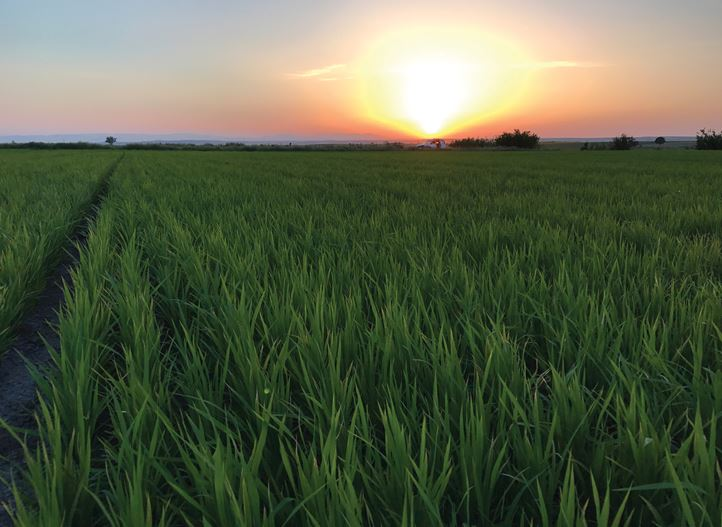Rice field in Turkey - drip irrigation product