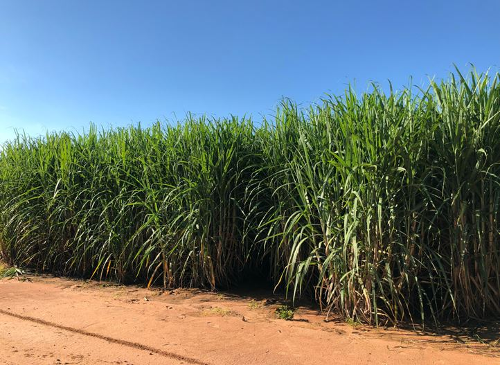 Drip irrigation for sugarcane