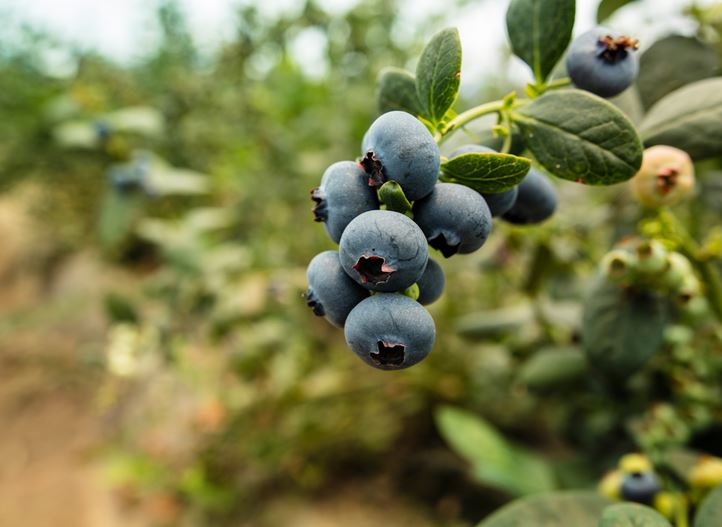 Drip irrigation for high quality blueberries