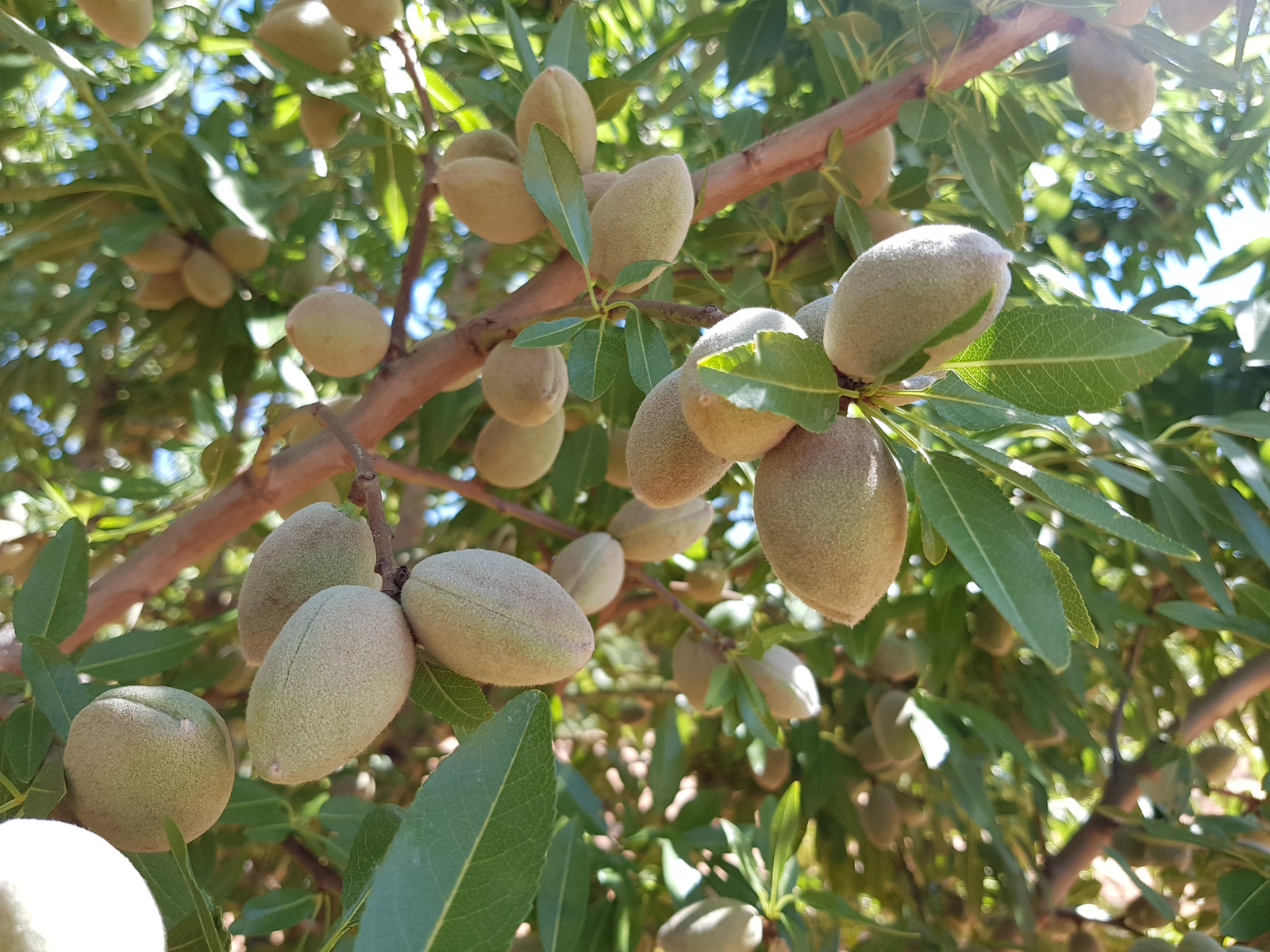 Almonds - orchard
