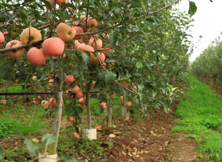 Drip irrigation for apples