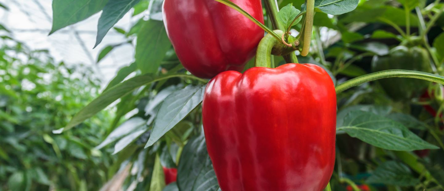 Success with Netafim Greenhouse on a pepper farm